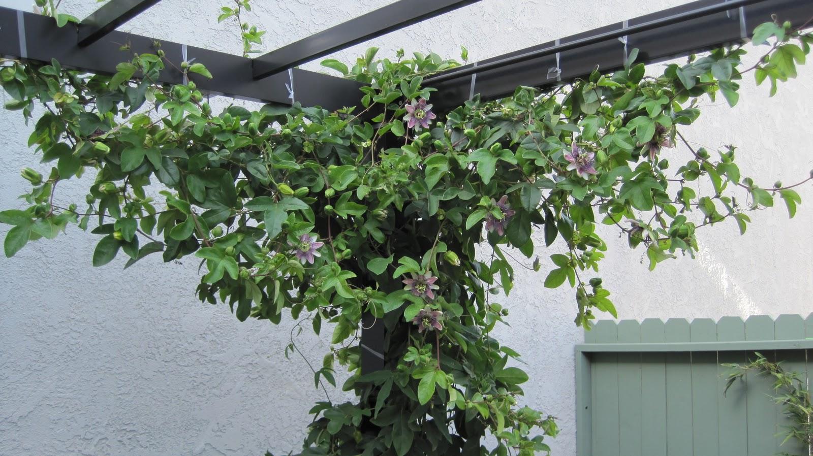 Pergola Tory Passiflora