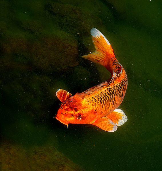 Tomochan store may 2013 for Koi fish life span