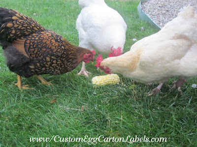 Chickens appreciate frozen treats such as corn on the cob in hot weather.