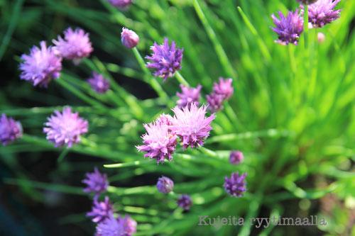 Ruohosipulin kukkia
