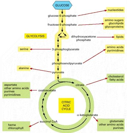 Glycolysis Cycle http://darwins-god.blogspot.com/2011/07/glycolysis-and-citric-acid-cycle.html