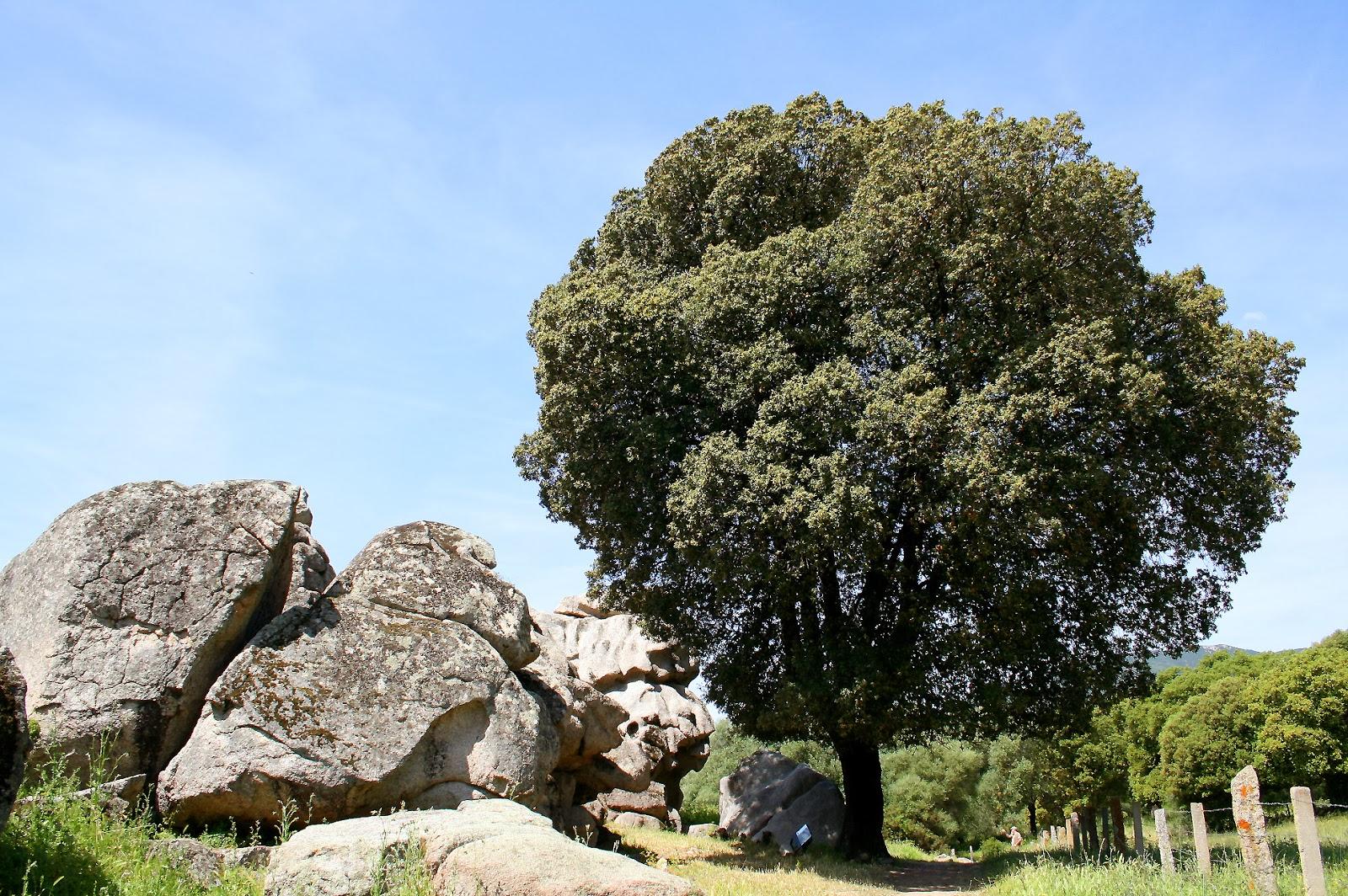 Trees planet: quercus ilex holm evergreen oak