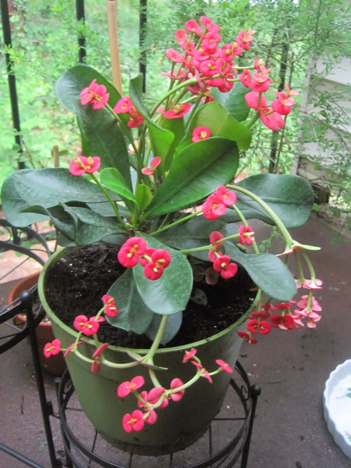 Vetsy 39 s view learning to save and to care for a crown of for Crown of thorns plant
