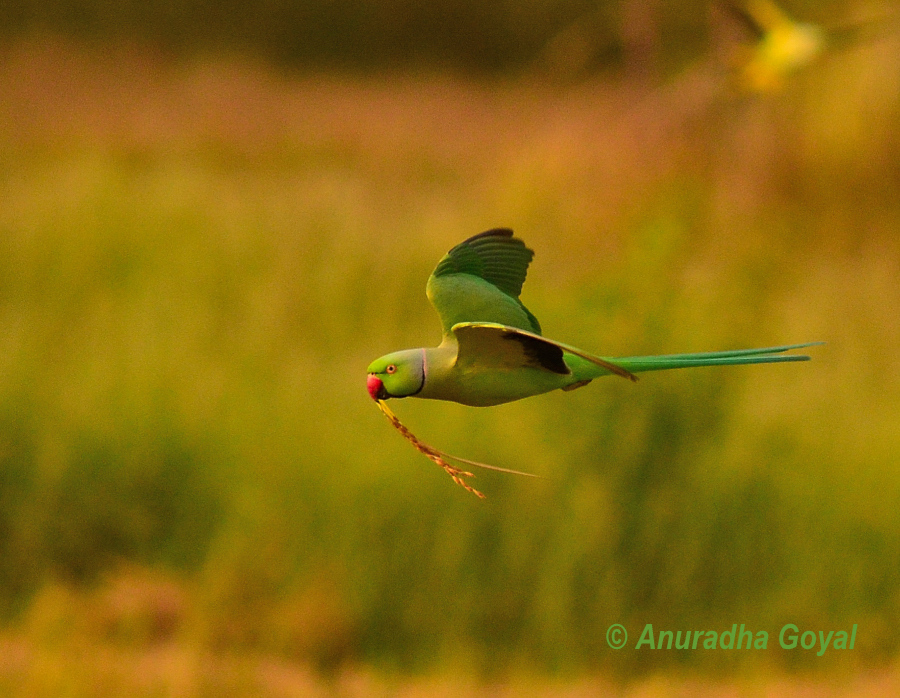 Parakeet in-flight with golden grains of paddy, Goa