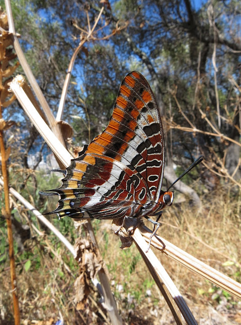 Two-tailed Pasha - Gibraltar