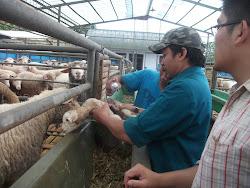 Kunjungan ke Peternakan Domba Merino tgl 28 Maret 2013