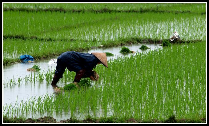 Wet Rice Cultivation in Indonesia