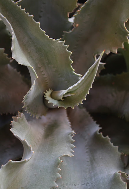 agave, dry, cactus, detail, cacti, ambiance, photography, photograph, swirl, nature, sarah, myers, patio, plants, desert, garden, summer, sonora, thorns, prickles, fencepost, columnar, gray, grey, green, patio