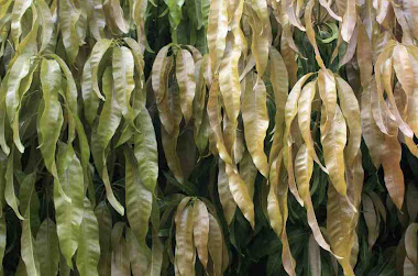 spring mango leaves
