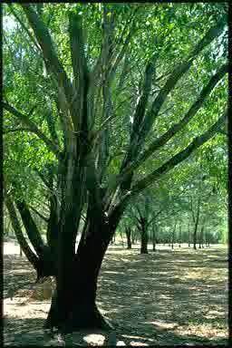 budidaya pohon akasia