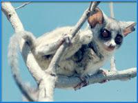 Lemur Microcebus murinus images