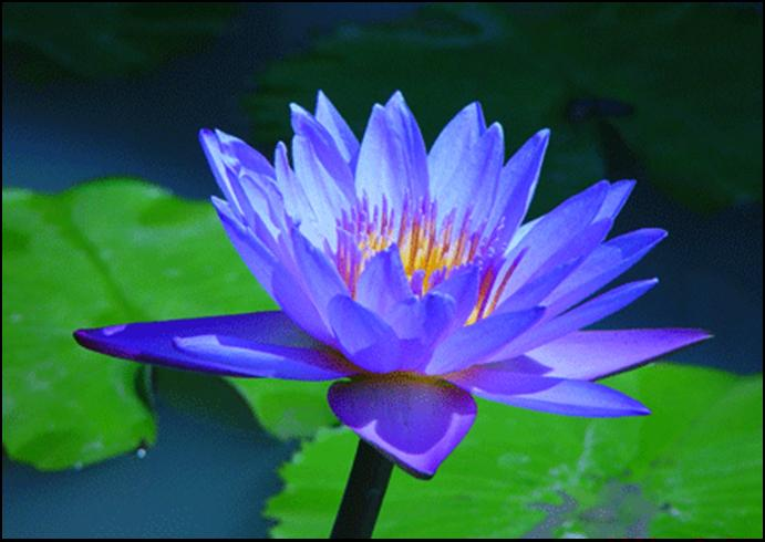 Stephanies yoga the lotus symbol of strength blue lotus symbol of victory of the spirit over the senses and signifies the wisdom of knowledge mightylinksfo