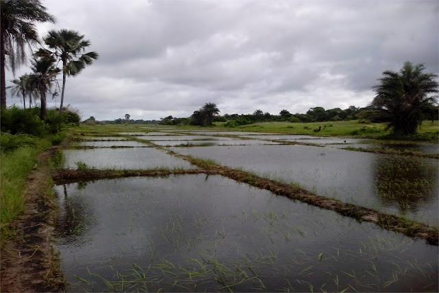 Campos de arroz cerca del campament
