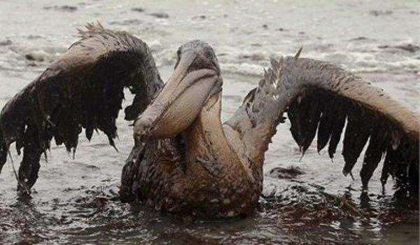 Que significa soñar con Pelicanos