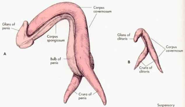7 Crazy Amazing Facts About The Clitoris
