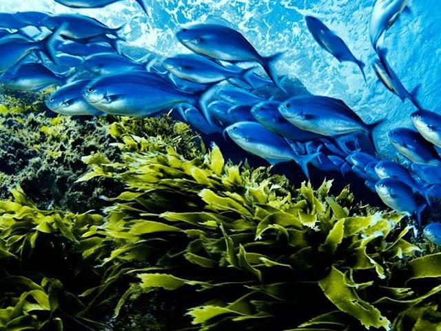 Blue Maomao, New Zealand