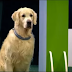 This Golden Retriever is extremely amusing during the Dog Competition.