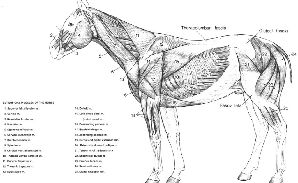Superfical Horse Muscle Diagram - Schematics Wiring Diagrams •