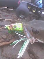 Umpan Mancing Ikan Gabus