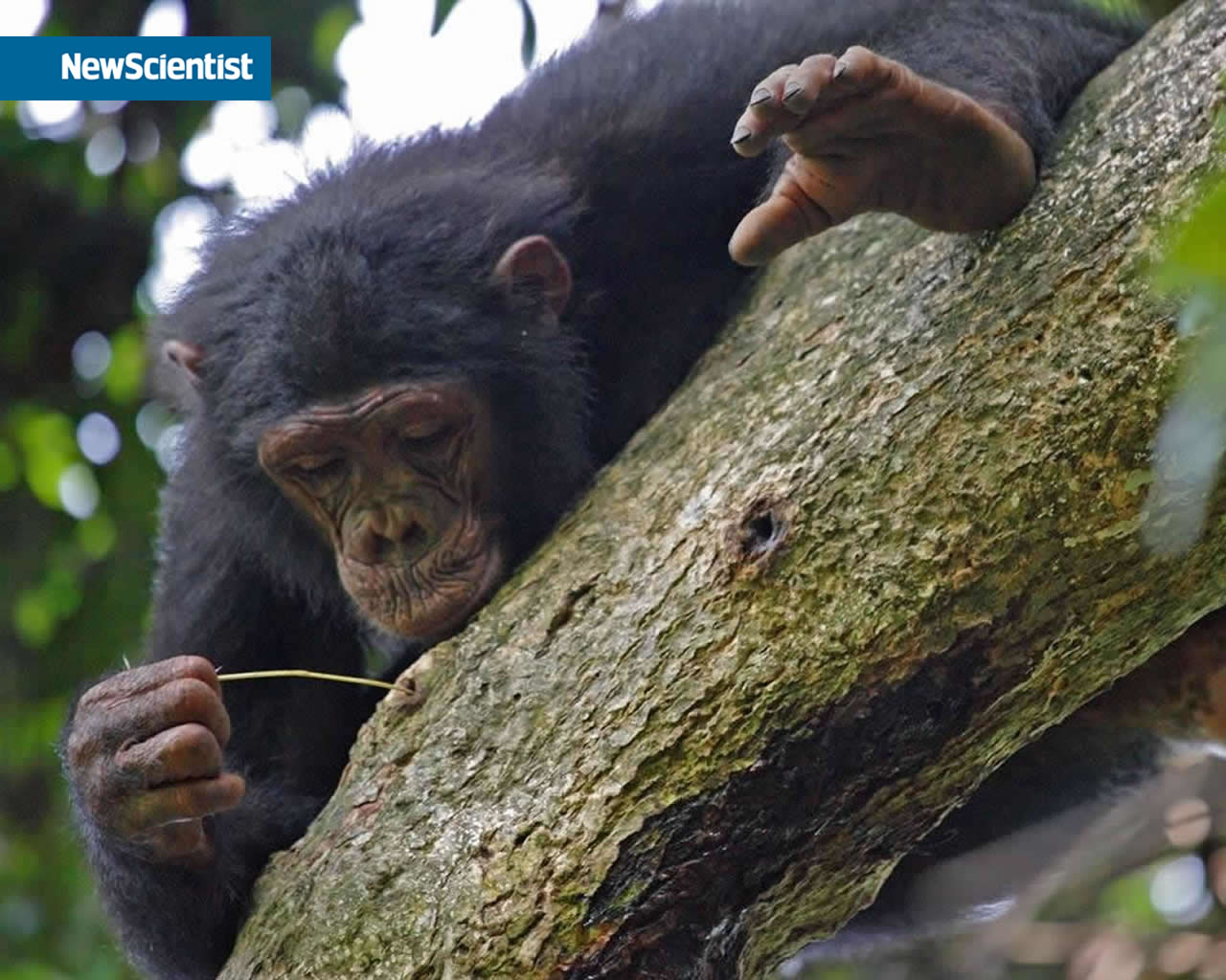 bush meat african apes essay African apes all apes great and small vol many of the papers in this volume were first presented at the third international great apes of the world conference held .