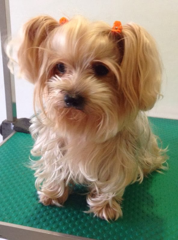 only boarding with us the owner also send her to us for her full grooming regulary little yorkie is familiar with the groomer and also the care taker