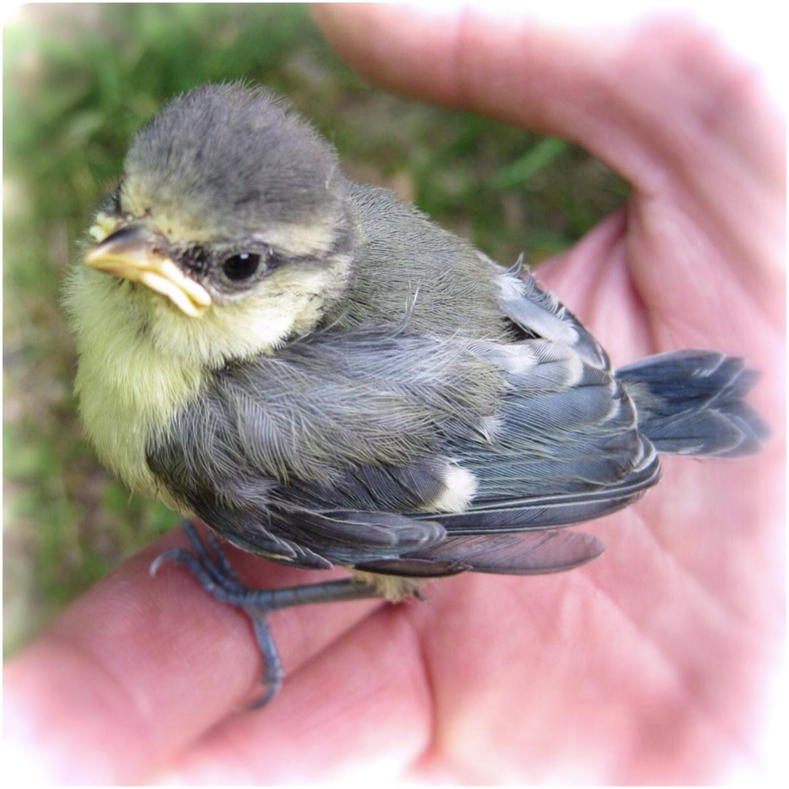 Pimpelmeesje net uit het nest