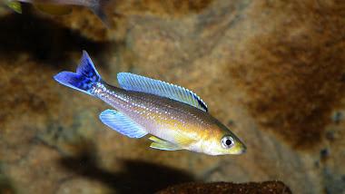 "Cyprichromis leptosoma jumbo ""Livua"""