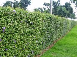 O cultivo a vida tumb rgia arbustiva for Especies de arbustos