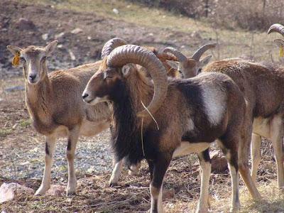 Corsican Mouflon Ram and Ewe