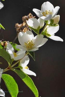 http://www.statesymbolsusa.org/Idaho/flower_syringa.html