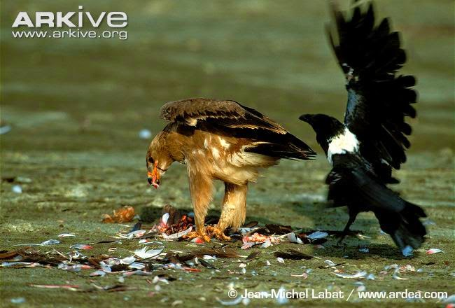 interactions between raptors and crows pied crow