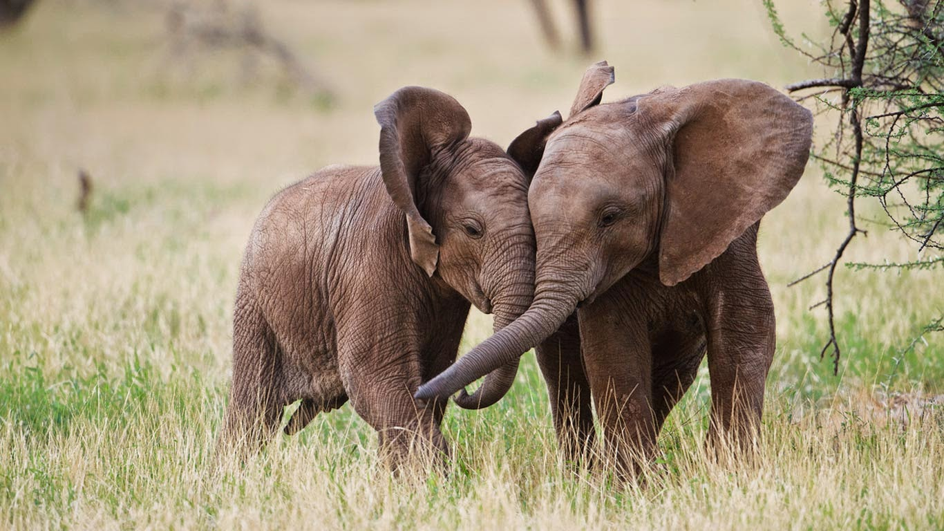 Young African elephants playing in Samburu National Reserve, Kenya (© Jeff Vanuga/Corbis) 263