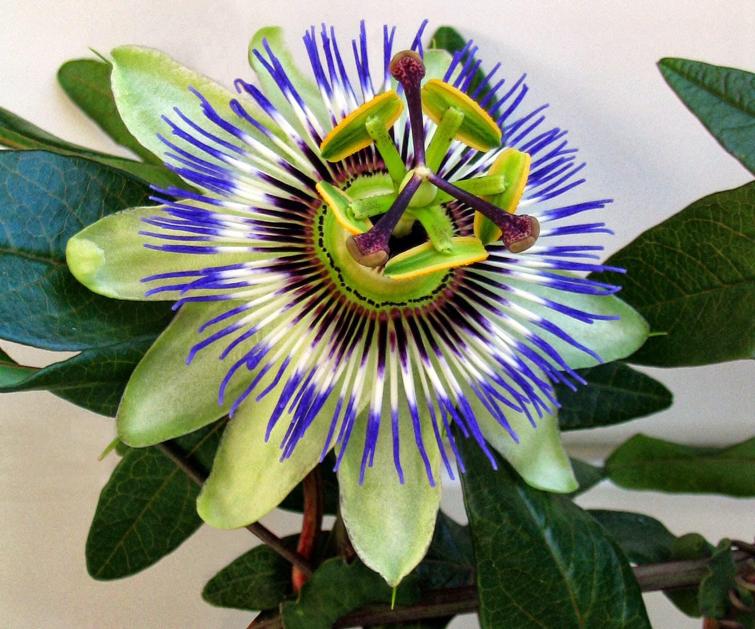 HOW TO GROW HARDY PASSION FLOWERS FROM SEED The Garden of