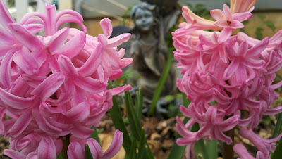 Hyacinths, pink, with fairy in the background.