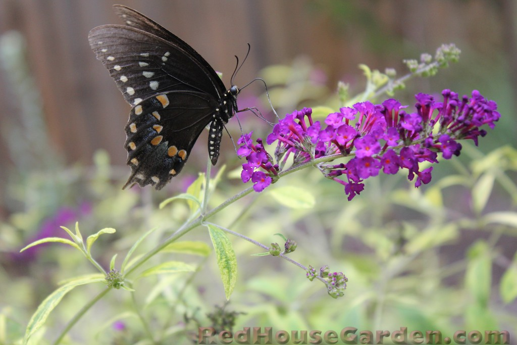 A Must Have For Any Landscape Butterfly Bushes Are Incredibly