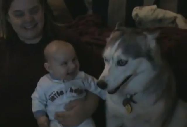 Cachorro Husky faz bebê dar risada