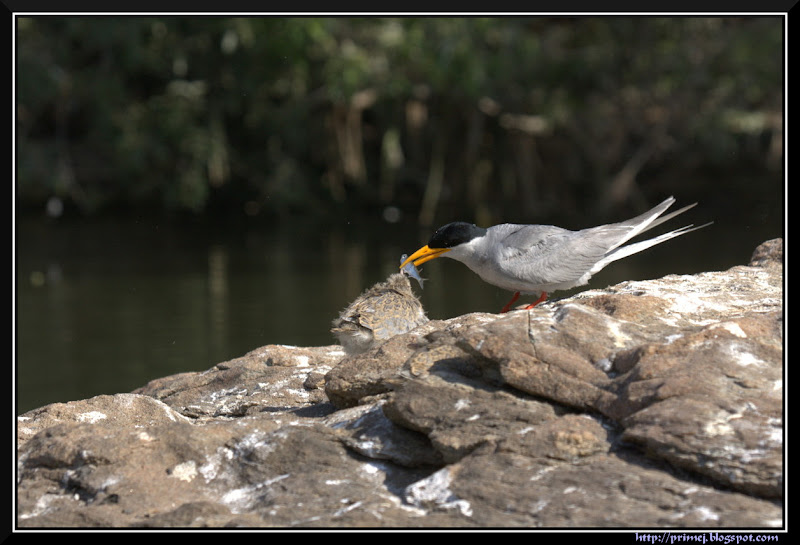 River Tern feeding chick