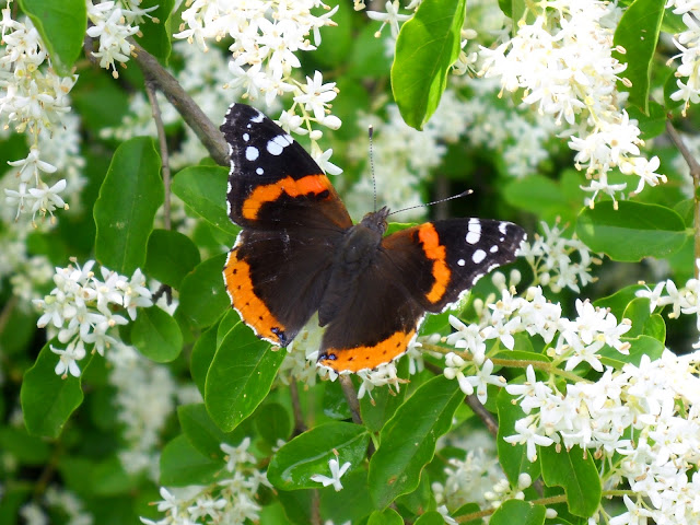 Red Admiral (Vanessa atalanta) at White Rock Lake, Dallas, Texas