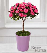 The Heart Opening Azalea Topiary