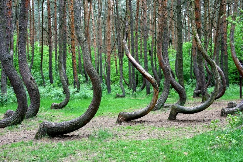 2 Crooked Forest In Poland