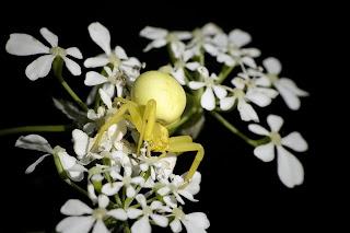 Para ampliar Misumena vatia (Araña cangrejo) hacer clic