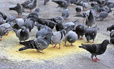 güvercinlere inanma