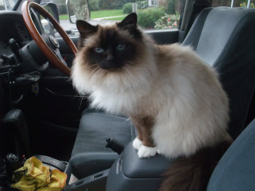 Our Birman Muffy - 8.2.96 to 27.5.16
