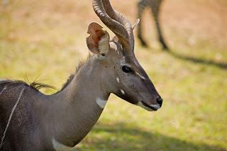 Funny Impala Nice Images