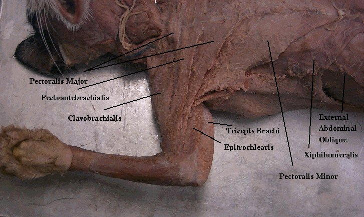 Cat dissection study tools muscular system the following website also has great images you can use to study from click here freerunsca Images