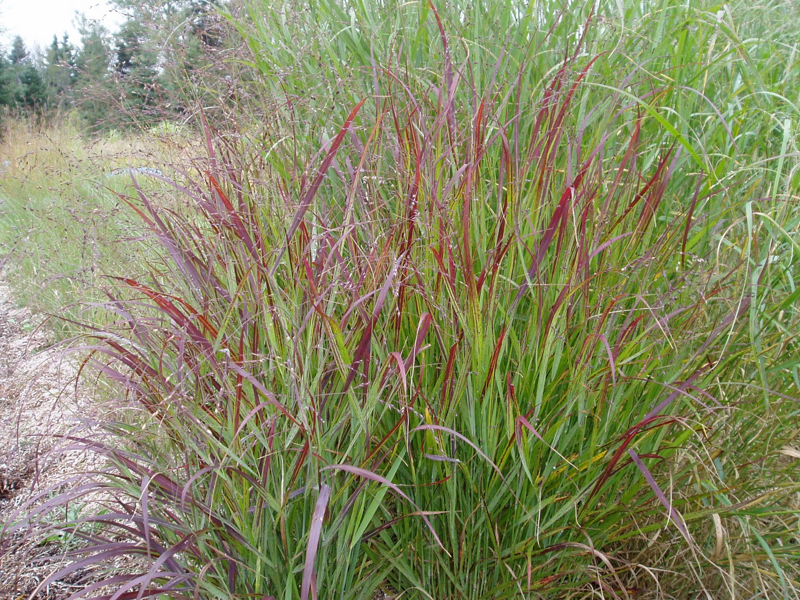 Lovegrass farm fall photos of our ornamental grasses at for Red ornamental grasses perennial