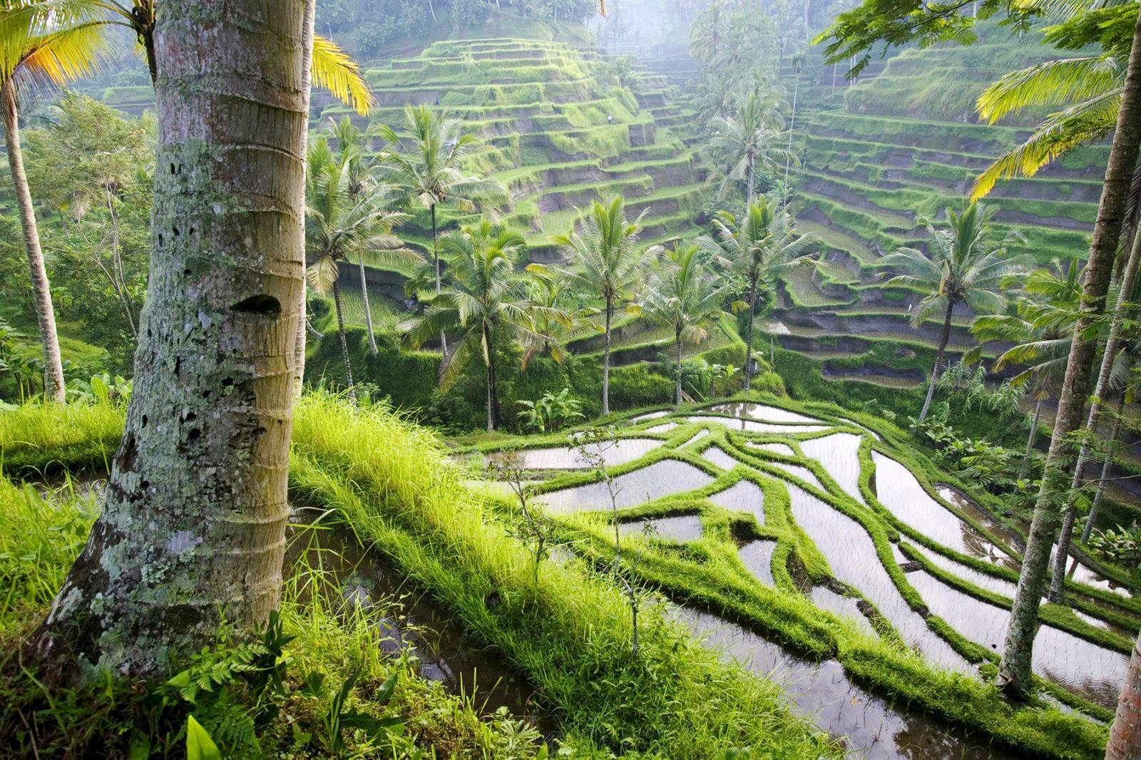 http://2.bp.blogspot.com/-9g-3GTJQUgg/TrAi7CPoJ9I/AAAAAAAAEJ4/vDbtbqZ89dk/s1600/Rice_Field_Landscape_Wallpaper%252BVvallpaper.Net.jpg