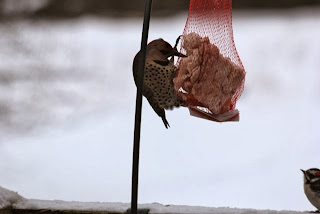 flicker and woodpecker at suet