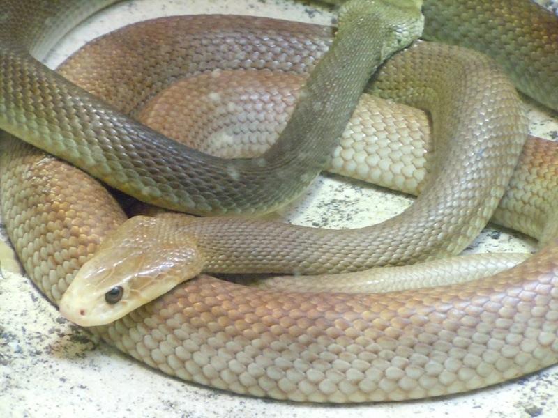 Deadliest Snake Bite in The World World 39 s Deadliest Snakes