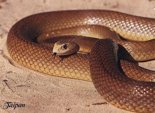 taipan serpente più velenoso del mondo